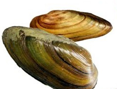 Мясо моллюсков