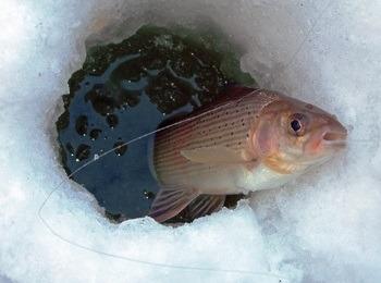 хариус рыбылка