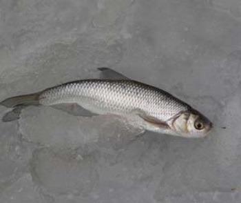 Зимняя рыбалка на ельца