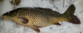 Зимняя рыбалка на карпа