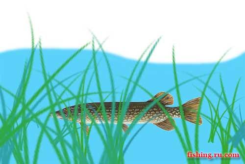 щука на октопус