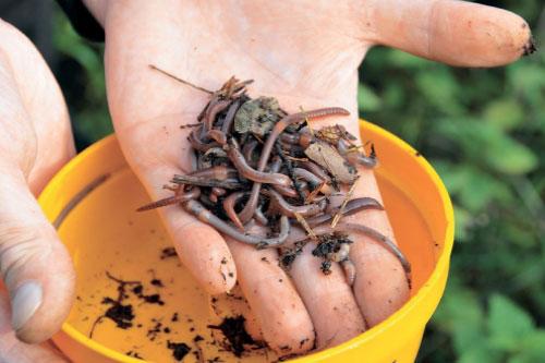 черви навозные