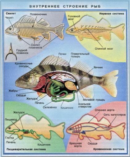 пищеварение рыбы