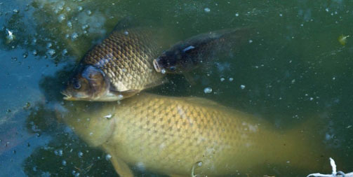 рыба задыхается