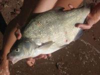 лещ рыба