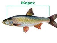 жерех рыба