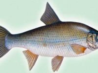 елец рыба