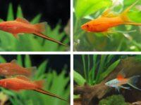 Рыбки меченосцы