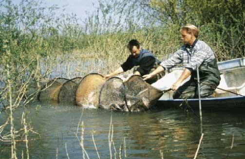 верша рыболовная
