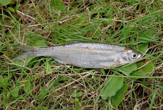 уклейка рыбалка